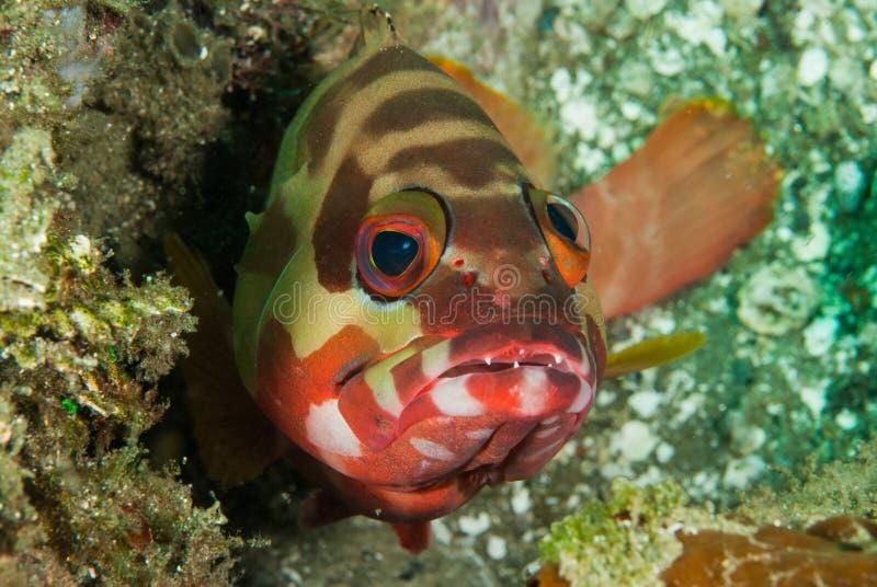 Mero de Blacktip en Ambon, Maluku, foto subacuática de Indonesia imagenes de archivo