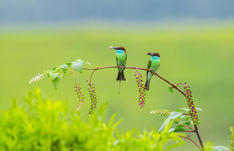 Merops viridis lizenzfreie stockfotografie