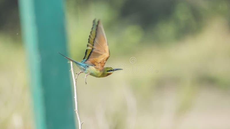 Meropsphilippinus - de Blauwe De steel verwijderde van start van de bijeneter, met volledig-uitgerekte vleugels royalty-vrije stock foto