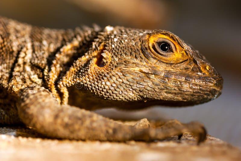 Merrems Madagaskar schnell (Oplurus-cyclurus) stockfoto