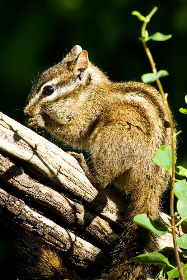 Merriams Chipmunk lizenzfreie stockbilder