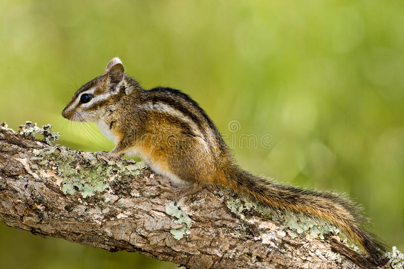 Merriams Chipmunk stockbild