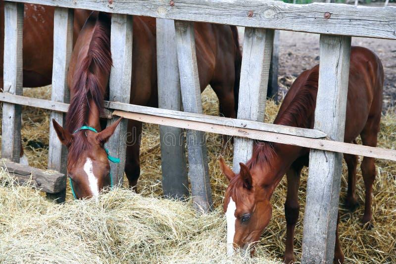 Merrie en haar veulen die gras achter oude houten omheining eten royalty-vrije stock afbeeldingen