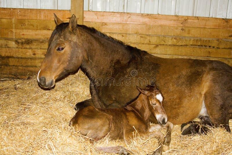 Merrie en Pasgeboren Veulen stock afbeeldingen