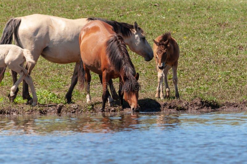 Merries met hun veulennen op de kust van de vijver Paarden bij de bar Basjkirië royalty-vrije stock foto