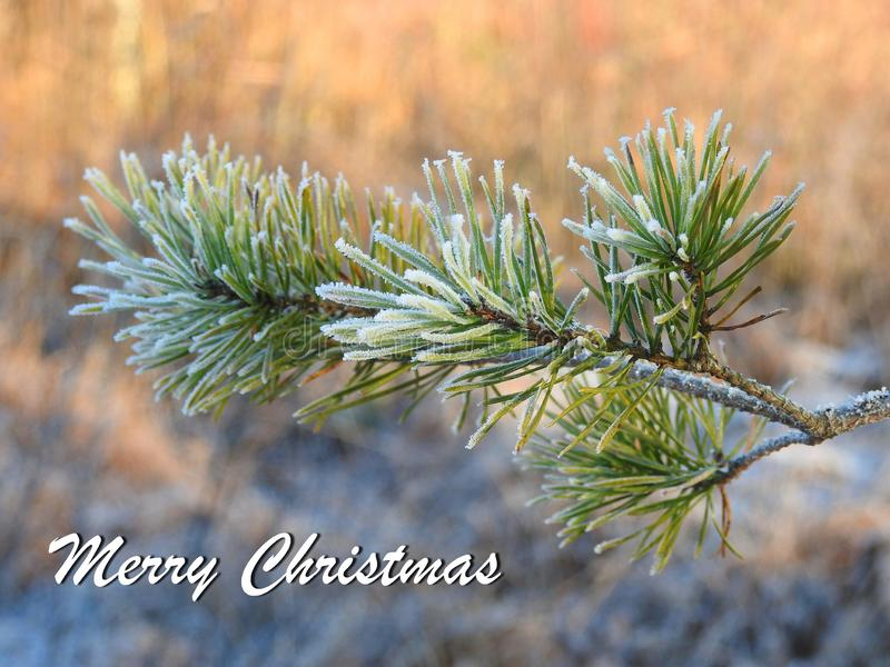 Merry Christmas card done using pine tree branch, Lithuania. Beautiful natural snowy pine tree branch and note - Merry Christmas stock photos