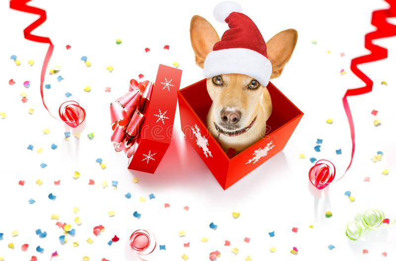 Merry christmas dog in a box. Christmas chihuahua podenco santa claus dog in a present holiday gift box , on white background with red hat , as a surprise royalty free stock photos