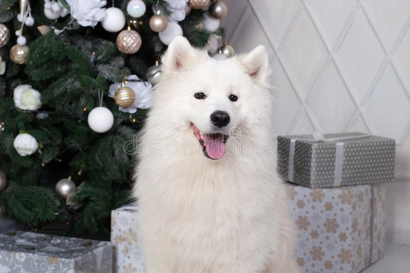 Merry Christmas and happy holidays. New Year 2020. Samoyed dog lies in living room in Christmas interior. white fluffy Samoyed dog stock photo