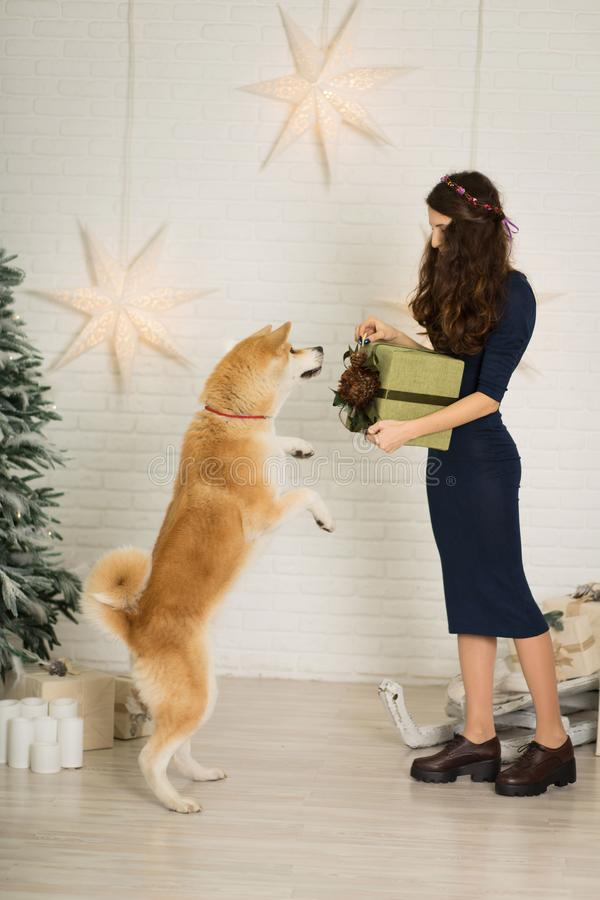 Merry Christmas and Happy New Year. The girl give Christmas present in box to her dog breed akita inu stock image