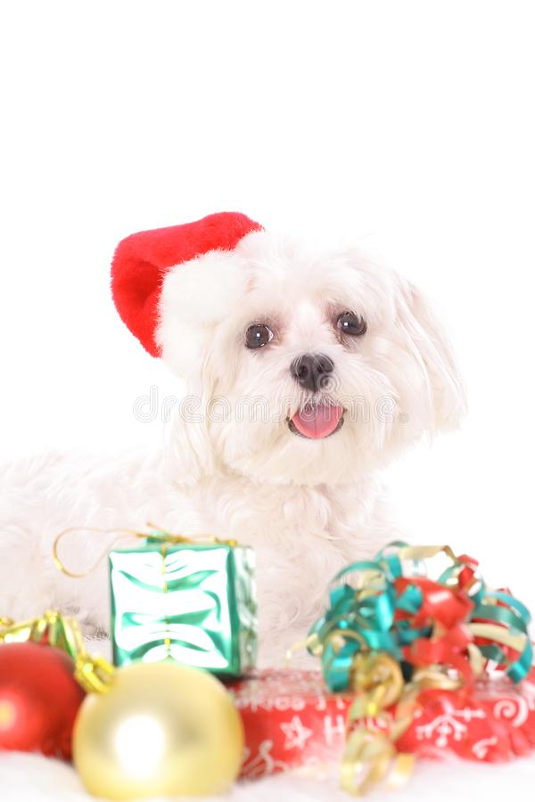 Merry Christmas Maltese royalty free stock images
