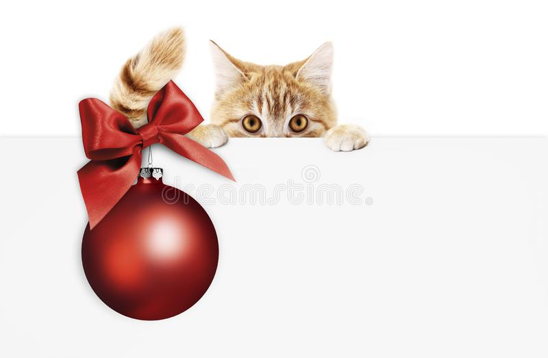 Merry christmas signboard or gift card for pet shop or vet clinic, ginger cat showing white card with red xmas ball and ribbon bo. W, isolated on white, copy stock photography