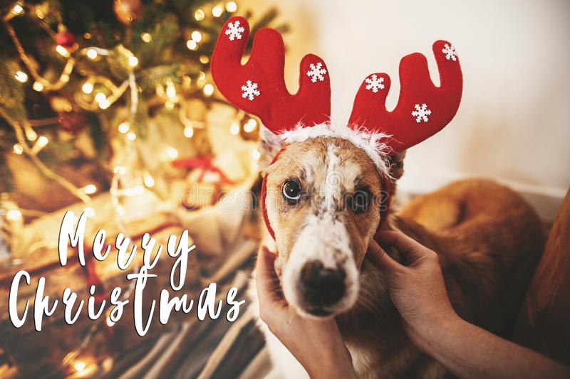 Merry Christmas text on dog with reindeer antlers sitting at gol stock photography