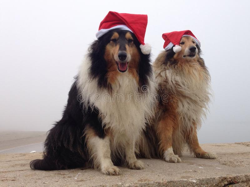 Merry Collie Dogs at royalty free stock photos
