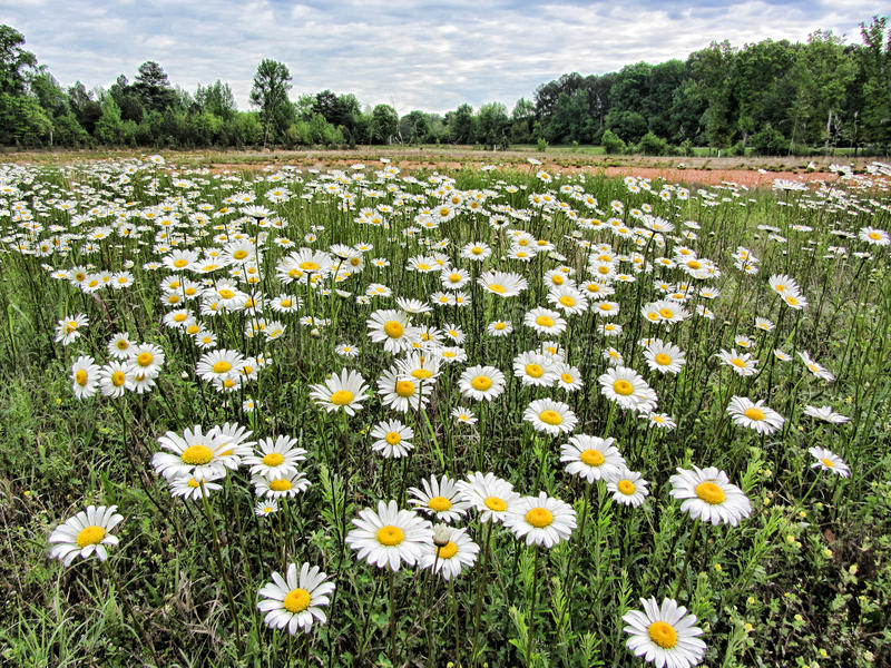 Merry Oxeye Daisy Wildflower Landscape stock images
