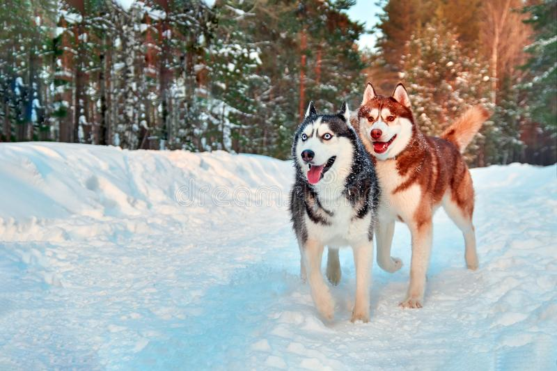 Merry Siberian husky dogs walk in winter forest. Black and white and red husky run in snowy park. Funny Siberian husky dogs walk in winter forest. Black and royalty free stock images