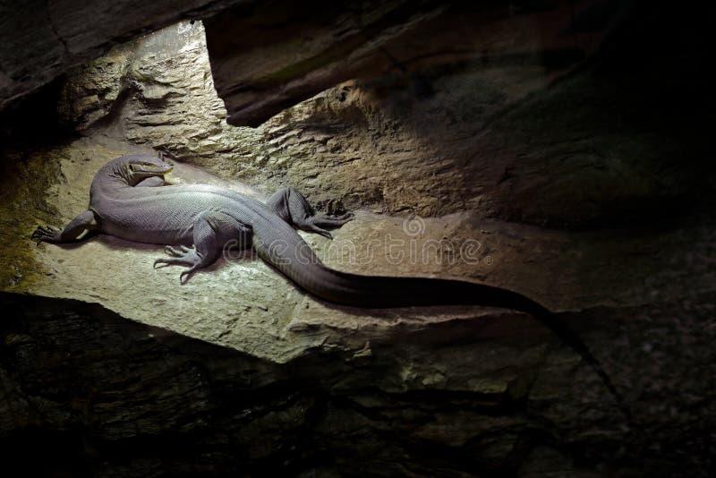 Mertens ` eller bildskärm för vatten för Mertens ` s, Varanusmertensi, Australien Ödla i mörk grottalivsmiljö Bildskärm nära flod royaltyfri bild