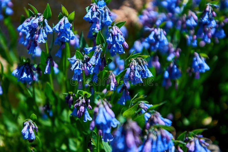 Mertensia ciliata Mountain bluebells Tall fringed bluebells, purple and blue bells at 11000 ft in the Rocky Mountains. Mertensia ciliata Mountain bluebells Tall stock photo