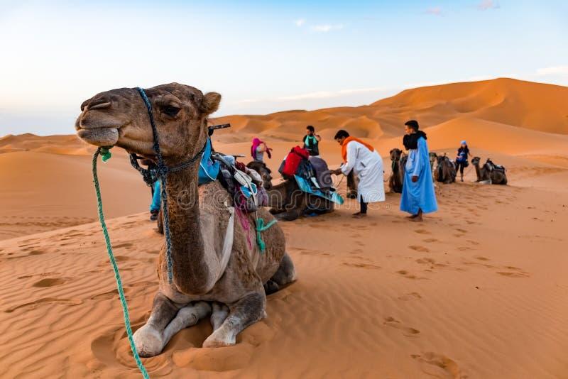 MERZOUGA MAROCKO - Augusti 02: En manlig handbok för Berber i traditionell klänning som utbildar en ung manlig kamel i erget Cheb arkivfoto