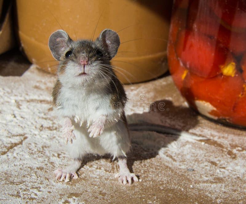 Mes mains sont sales Une souris de maison sauvage encroûtée par farine a attrapé parmi des récipients de nourriture dans un buffe photo libre de droits