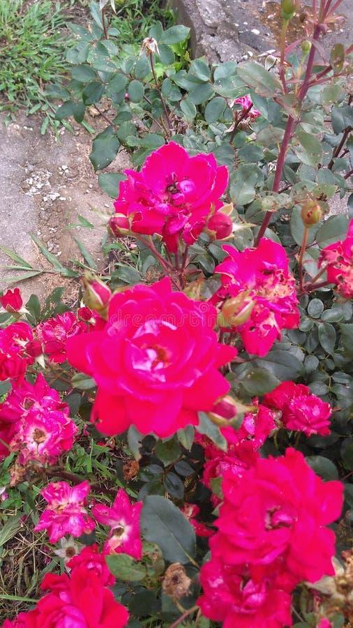 Mes roses images libres de droits