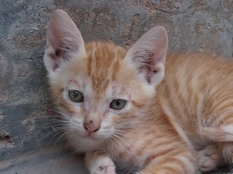 Mes yeux verts avec le chat gris de couleur image stock