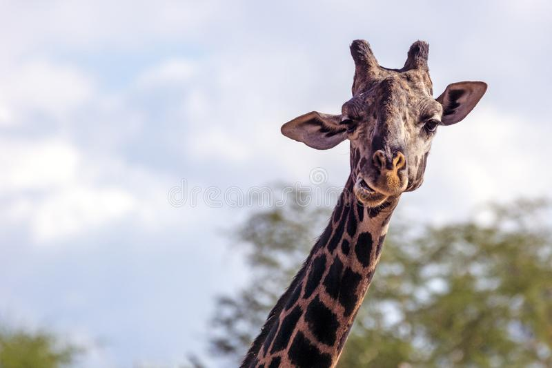 Mesai giraff på den Phoenix zoo arkivfoto