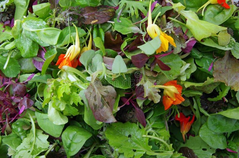 Mesclun salad greens closeup stock photo