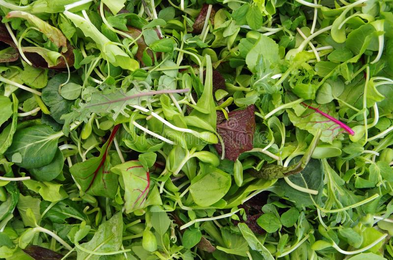 Mesclun salad mixed field greens royalty free stock photo