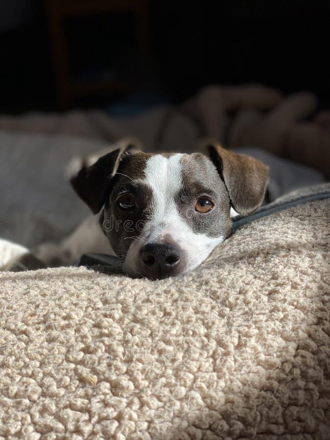Mescolatore di beagle deposto fotografia stock libera da diritti