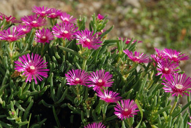 Mesembryanthemum fotografía de archivo libre de regalías