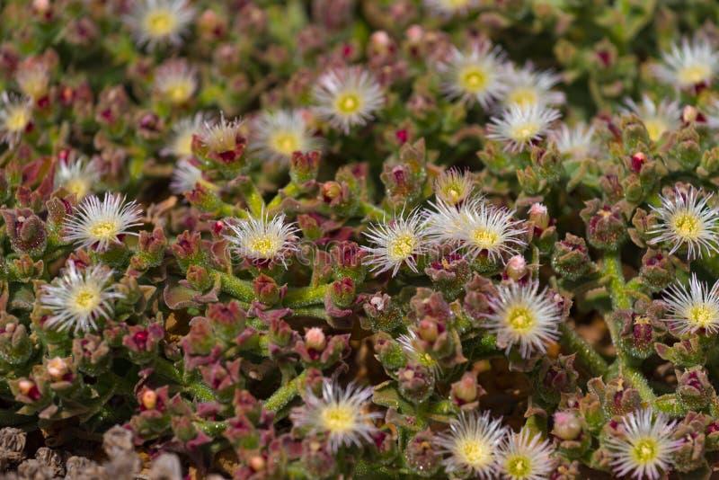 Mesembryanthemum crystallinum błonie iceplant zdjęcie stock