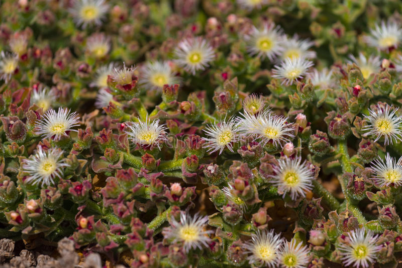 Mesembryanthemum crystallinum common iceplant stock photo
