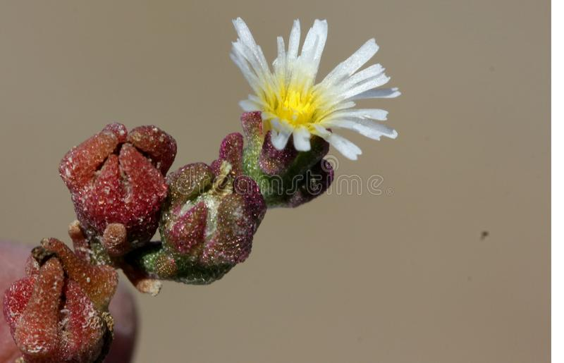 Mesembryanthemum nodiflorum, slenderleaf iceplant. Perennial prostrate herb with succulent stems, linear cylindrical leaves, white flowers about 5-10 mm across royalty free stock photo