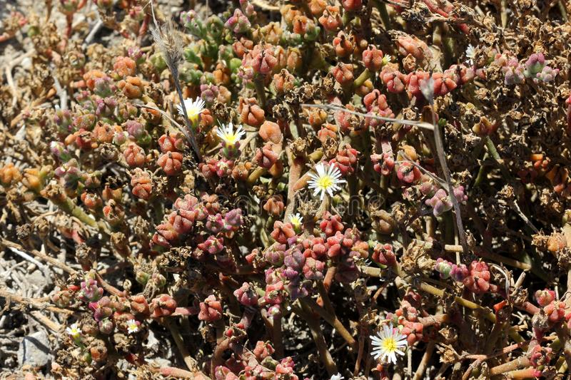 Mesembryanthemum nodiflorum, slenderleaf iceplant. Perennial prostrate herb with succulent stems, linear cylindrical leaves, white flowers about 5-10 mm across stock photo