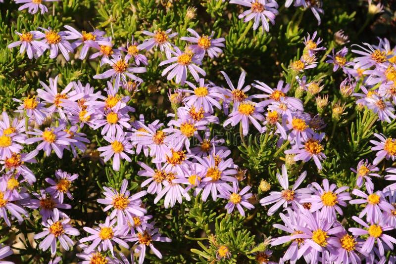 Mesembryanthemums porpora fotografia stock libera da diritti