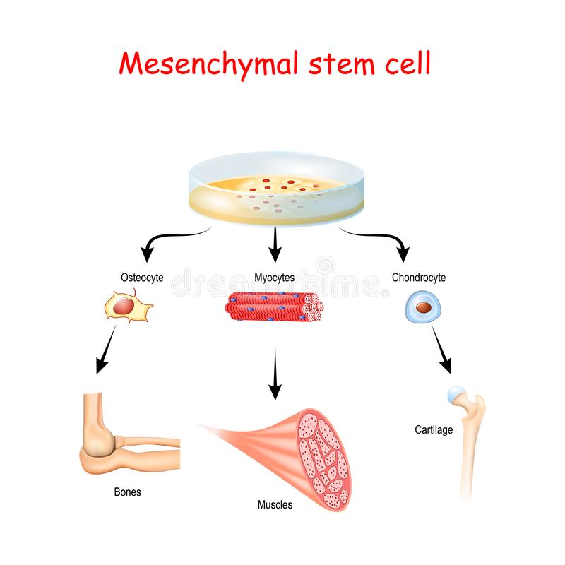 Free Mesenchymal Stem Cells Are Multipotent Stromal Cells Royalty Free Stock Photography - 161087367
