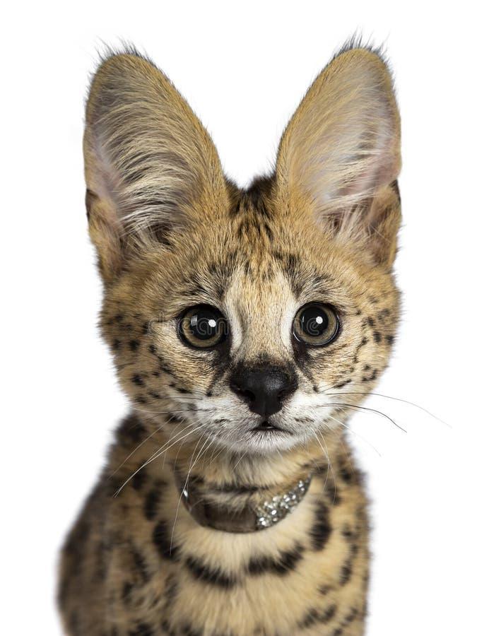 6 meses bonitos do gatinho novo do gato do Serval, isolado no fundo branco foto de stock