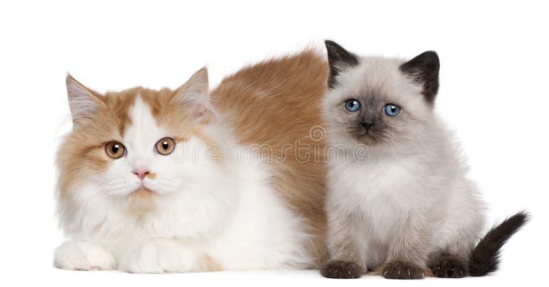 Meses británicos de los gatitos de Shorthair 2 y 5, fotografía de archivo