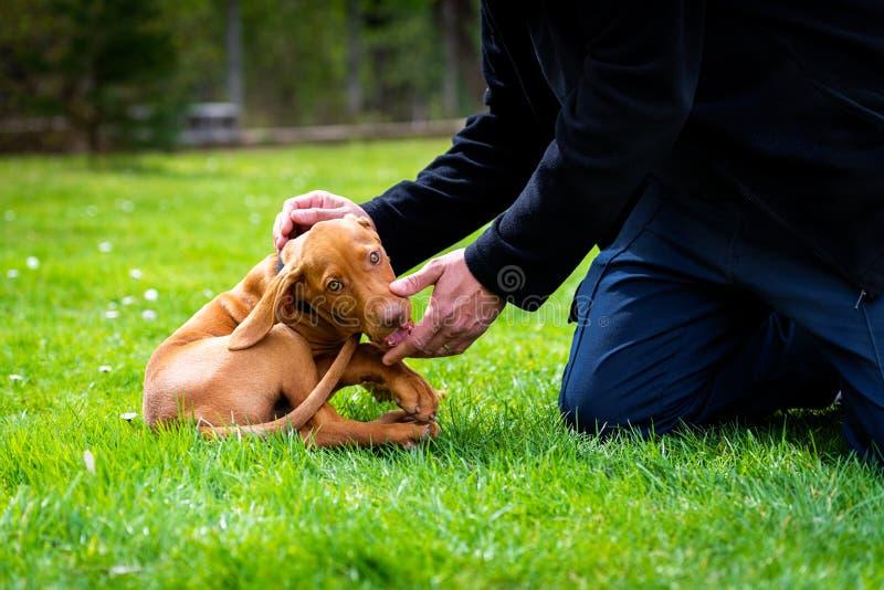 2 meses de dedos de mordedura dos proprietários do cachorrinho húngaro bonito velho do cão do vizsla ao jogar fora no jardim Trei fotografia de stock
