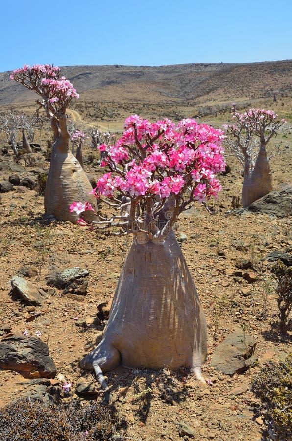 Meseta Mumi en la isla del Socotra en Yemen, árboles de la botella fotografía de archivo libre de regalías