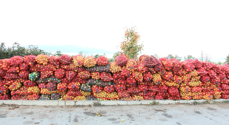 A mesh bags of freshly picked apples for juice industry on early morning. Picture of a A mesh bags of freshly picked apples for juice industry on early morning stock photo