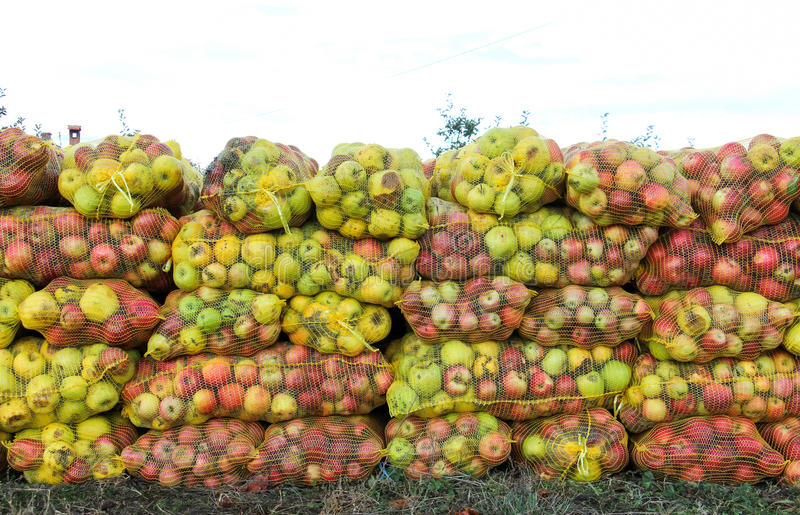 Mesh bags of freshly picked apples for juice industry on early morning. Picture of a A mesh bags of freshly picked apples for juice industry on early morning royalty free stock image