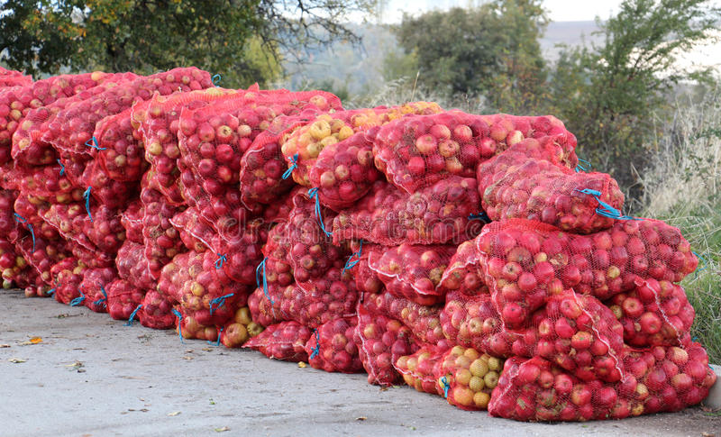Mesh bags of freshly picked apples for juice industry on early morning. Picture of a A mesh bags of freshly picked apples for juice industry on early morning royalty free stock photo