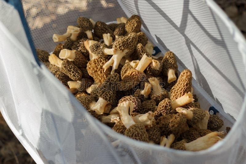 Mesh Basket Full branco dos Morels da caça do cogumelo imagem de stock