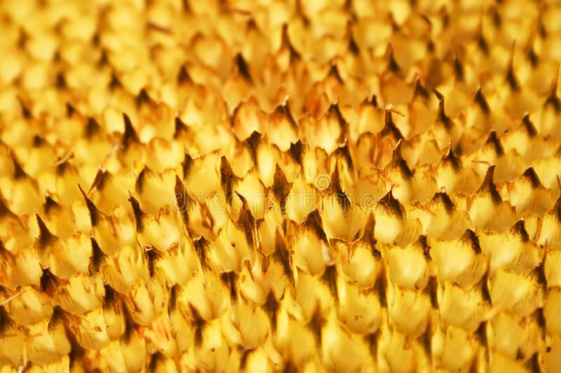 Download Mesh in a sunflower stock image. Image of dimensional - 6698873