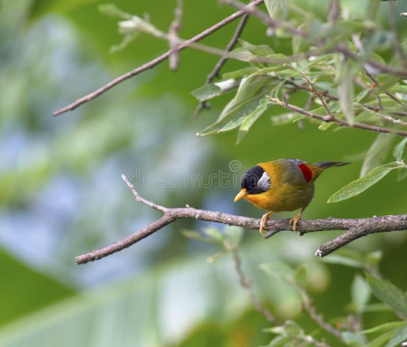 Mesia Argento-eared ( leiothrix argentauris) fotografia stock libera da diritti