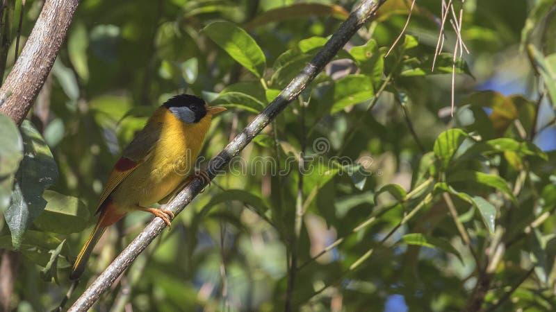 Mesia Argento-eared sul ramo di albero immagini stock libere da diritti