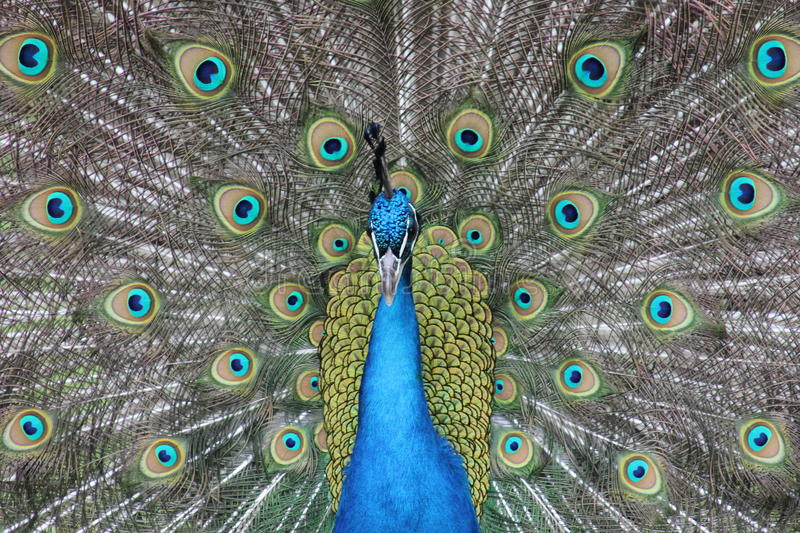 Mesmerizing Peacock. A closeup and full frame photo of a male peacock with bright plumage and stunning design and contrast stock images