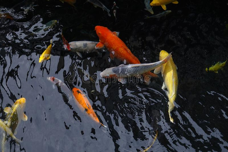 Mesmerizing special beautiful colors koi fishes in clear fresh water royalty free stock photos