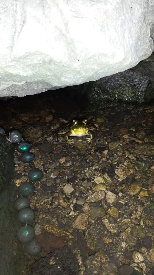 Mesmeryzować przyglądającej się żaby zdjęcia royalty free